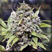 Female Pure AK feminized marijuana single seed Sativa Potent
